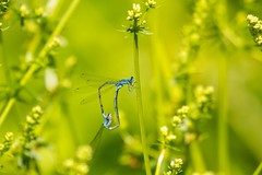 7K8A5278 (rpealit) Tags: nature wheel forest scenery state wildlife mating stokes damselfly skimming bluets