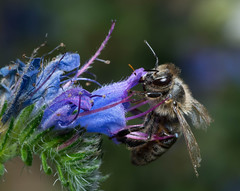 Its a bee (benevolentkira7) Tags: flowers white green eye yellow work bug insect ouch flying wings eyes purple head bees sting wing insects bugs bee worker pollen antenna beekeper