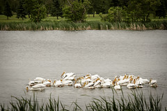 Group Pelican-8007 (plapff) Tags: white lake pelican mb crescentlake 2016