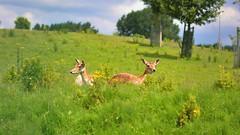 Sunning (Aadilos) Tags: sun nikon sigma deer zon hert sunning herten d5200 1450mmsigma