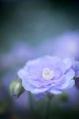 Double blue geranium (Keartona) Tags: geranium hardygeranium cranesbill double flower blue soft closeup macro garden summer petals blur