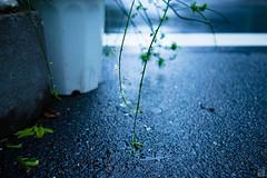 (yasu19_67) Tags: street blue flower rain japan 35mm bokeh blues atmosphere osaka digitaleffects photooftheday filmlook filmlike vsco vscofilm sonnartfe35mmf28za sony7ilce7