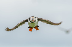 Puffin In Flight (phat5toe) Tags: nature birds nikon wildlife flight feathers puffin farneislands avian fraterculaarctica d7000 sigma150500