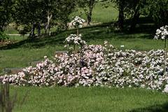 Berlin-Marzahn, Grten der Welt: Bepflanzung an einem Hang im neu angelegten Rosengarten - Roses at a slope in the new rose garden (riesebusch) Tags: berlin rosengarten marzahn grtenderwelt