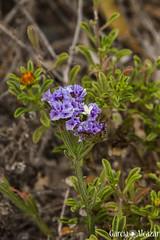 (Manolo G.A.) Tags: plant flower planta flor almera 18200mm limonium eltoyo canon50d