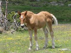 P1000241 (Franois Magne) Tags: cheval libert poulain jument blond blonde bai frange montagne etang lanoux estany de lanos lac pyrnes