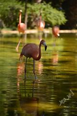 2فلامنجو (محمد بوحمد بومهدي) Tags: life lake bird water animals zoo colorful wilde 300mm jungle 28300mm flamengo 28300 d600 ماء wildelife عدسة نيكون طائر بوحمد الغابة فلامنجو عدسات tagstagsnikon