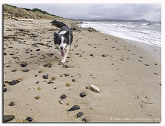 Went to the beach today (Seans1969) Tags: ocean dog beach lumix sand australia olympus panasonic tasmania bordercollie ulverstone microfourthirds dmcgf1 olympus12mmf20 buttonsbeach