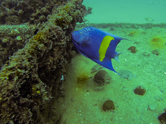 Angels are everywhere () Tags: dubai uae dive scuba diving emirates abudhabi padi wreck angelfish wrecks