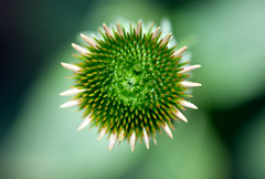 Scarving the coneflower (Pensive glance) Tags: plant flower nature fleur plante echinacea coneflower chinace