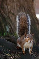 Eichhörnchen (ulibrox) Tags: sanfrancisco california tiere squirrel eichhörnchen goldengateheights vereinigtestaaten säugetiere