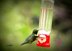 """Hold Still!"" (judecat (it's all in the Nature of things)) Tags: bird nature hummingbird wildlife hummingbirdfeeder pennsylvaniawildlife"