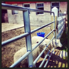 June 9 - bucket {a bright blue feed bucket in with the sheep} #photoaday #sheep #bucket #princeedwardcounty #hagermanfarms (Basildon Kitchens) Tags: square bucket sheep squareformat photoaday princeedwardcounty farmyard iphoneography instagramapp xproii uploaded:by=instagram
