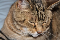 Gentle & Sweet (bigbrowneyez) Tags: family pet beautiful animal cat pattern sweet coat tabby whiskers bebe resting adopted gatto gentile gentle bello compeanno june1stbirthday