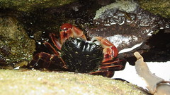 Tidepool crab (rhyang) Tags: hiking centralcaliforniacoast pointlobosstatereserve