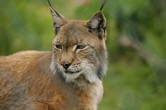 The Lynx Affect (Adam Swaine) Tags: county uk england green beautiful animals canon photography countryside britain wildlife east lynx 2012 counties naturelovers 2013 europeanlynx thisphotorocks adamswaine mostbeautifulpicturesmbppictures wwwadamswainecouk