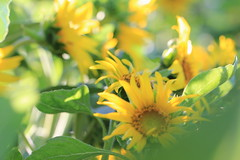 IMG_7200 (gina_scarsella) Tags: california flowers summer vacation color macro nature cali sunflower northern vaca