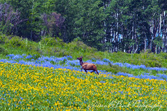 Take My Breath Away (Aspenbreeze) Tags: rural countryside colorado wildlife wildanimal wildflowers elk lupine wildanimals femaleelk muleear wildelk coloradowildlife doeelk aspenbreeze moonandbackphotography bevzuerlein