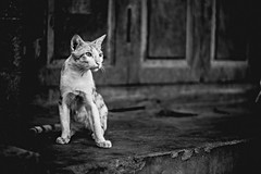 (opulenthues) Tags: life street blackandwhite cats india animals cat canon 50mm dof 550d