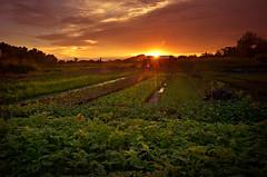 MIN_2003 (Darmin Ladiro) Tags: sunset photography nikon farm vegetable tawau d7000 darminladiro discovertawau