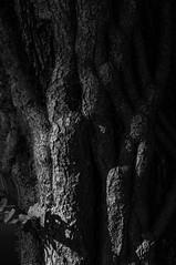 vines (Homemade) Tags: blackandwhite bw tree vine trunk nikkor2470mmf28 nikon2470mmf28