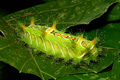 "Stinging Nettle Slug Caterpillar (Cup Moth, Limacodidae) ""Chequers"" (John Horstman (itchydogimages, SINOBUG)) Tags: china colour macro green cup insect top moth lepidoptera caterpillar slug  yunnan nettle larva  stinging chequers limacodidae  tumblr itchydogimages sinobug"