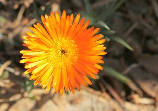 Drosanthemum thudichumii -Walter Sisulu Botanical Gardens, Johannesburg