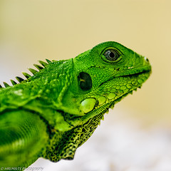 Iguana (HRLM&TS Photography) Tags: green animal pentax leguaan iguana curacao planet caribbean k10