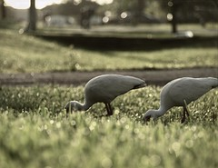 Good Eatin' (Shelby's Trail) Tags: wet grass birds time bokeh neighborhood explore ibis chow eightdaysaweek hbw inmyfrontyard twtme bokehwednesday mortalmuseseverydaybeauty