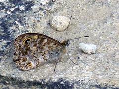 Mauerfuchs (Lasiommata megera) (HITSCHKO) Tags: italien cn nocciola schmetterling piemont nymphalidae lasiommatamegera mauerfuchs tagfalter edelfalter bergolo altalanga haselnssen cuenoi paesedipietra cortedmilia brmidata