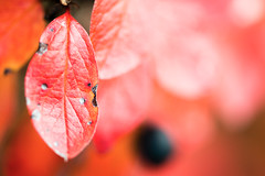 Red Red Red (Marius Unes) Tags: autumn macro nikon 1500 f4 vr d800 1250 105mm 36mpx mygearandme flickrstruereflection1