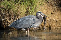 Hungry Great Blue (MelRoseJ) Tags: nature birds northerncalifornia minolta bayarea greatblueheron a57 sonyalpha minolta100400apo mygearandme