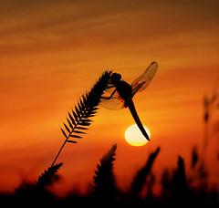 Acariciada por el sol del ocaso. (RosiLeo photos) Tags: sunset paisajes insectos macro sol silhouette landscape island atardecer islands see landscapes dragonfly paisaje amanecer libelula canary libellule erythraea libelulas odonatos crocothemis crocothemiserythraea dragonflysilhouette mygearandme rosileo sadacrisanrosileo12 vision:sunset=098