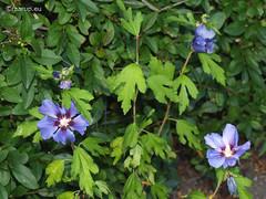Hibiscus syriacus (Finn Frode (DK)) Tags: blue hibiscus roseofsharon syriacus