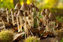 (KirstenDeLaet) Tags: light mushroom dof natural pentax bokeh herfst natuur sigma funghi van paddenstoel bos hof pracht vliegenzwam 2013 k10d 1770m coolhem 284 seventiesphotography