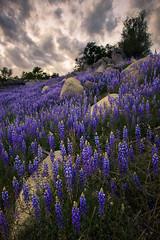 Folsom Bloom (boingyman.) Tags: flowers sky lake landscape folsom sacramento scape lupines boingyman