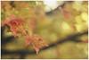 fade (the kelp knot) Tags: autumn fall maple maryland acer aceraceae kentisland terrapinpark ©courtnayjaniak