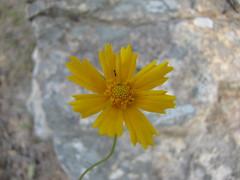 Unidentified, Yellow flower, Mount Magazine State Park, Arkansas (Cosmos Mariner) Tags: statepark flower nature yellow closeup flora posted what mypix 2flower 2nature vacpix onflowerid bloomarjun