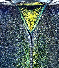 Aphrodisium convexicolle Gressitt & Rondon, 1970 male Scutellum (urjsa) Tags: insect beetle vietnam kfer coleoptera cerambycidae kaefer scutellum taxonomy:order=coleoptera taxonomy:family=cerambycidae geo:country=vietnam coleopteraus aphrodisium taxonomy:genus=aphrodisium taxonomy:species=convexicolle taxonomy:binomial=aphrodisiumconvexicolle convexicolle aphrodisiumconvexicolle