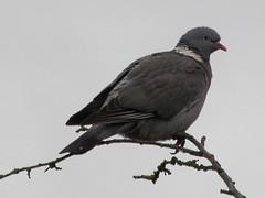 Woody (billnbenj) Tags: pigeon cumbria barrow woodpigeon