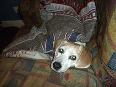 cozy Rosie (Just Back) Tags: dog eye beagle animal fur nose cozy eyes chair girlfriend warm heaven glow shine rosie den ears vision blanket beast napping augen relaxed companion interest snug snout ocular lovebug retina nostrils canis