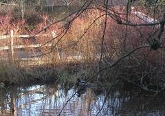 pond in winter (barliquin) Tags: winter pond ducks twigs duckpond redbushes