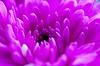 DSC_0082 - Purple Haze? (SWJuk) Tags: uk winter england macro home closeup nikon raw lancashire chrysanthemum lightroom burnley 2014 d90 nikkor60mm nikond90 60mmmicrolens swjuk mygearandme feb20104 {vision}:{sunset}=0601 {vision}:{sky}=0712 {vision}:{dark}=0577 {vision}:{plant}=0853 {vision}:{outdoor}=0523 {vision}:{flower}=0928
