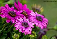 Purple Glory...!!  Agri-Horticulture Annual Show - Alipur, Kolkata (sandy_photo) Tags: india flower petals flora kolkata bengal flowershow alipore alipur annualflowershow beautifulbengal agrihorticulturesociety