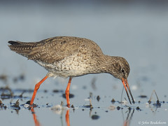Redshank (John Beukeboom) Tags: bird nature fauna nikon wildlife nederland natuur 500mm avian commonredshank tringatotanus vogel autofocus redshank tureluur weidevogel watervogel d3x mygearandme mygearandmepremium allnaturesparadise johnbeukeboom flickrsfinestimages1 flickrsfinestimages2 the~wonders~of~nature