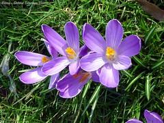 volop lente / plenty of spring (dietmut) Tags: flowers nederland thenetherlands bloemen crocuses zuidholland iridaceae krokussen zalmplaat dietmut paarsvioletlila yourfavorites89