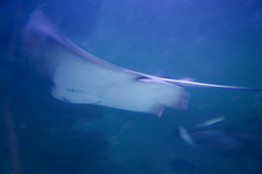 Stingray (neco.w) Tags: ocean blue sea fish blur water swimming swim fly flying long exposure ray underwater slow harbour stingray sting under shutter swims