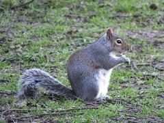 Grey Squirrel (ramridgedave) Tags: wild tree animal mammal grey squirrel rat beds chilterns bedfordshire
