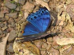 Blue Salamis butterfly (David Bygott) Tags: africa uganda 2014 bwindi nge davidbygott