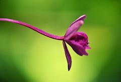 Pink & Green... (DawnWarrior) Tags: pink sunlight flower macro green sunshine closeup petals spring stem pentax bokeh smooth handheld kr singleton 2014 raynox dcr150 swanseabotanicalcomplex thephotographyblog dawnwarrior
